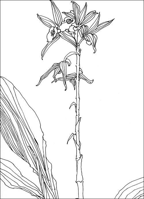 白描花卉写生范本·兰