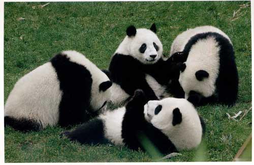 大熊猫珍贵的原因